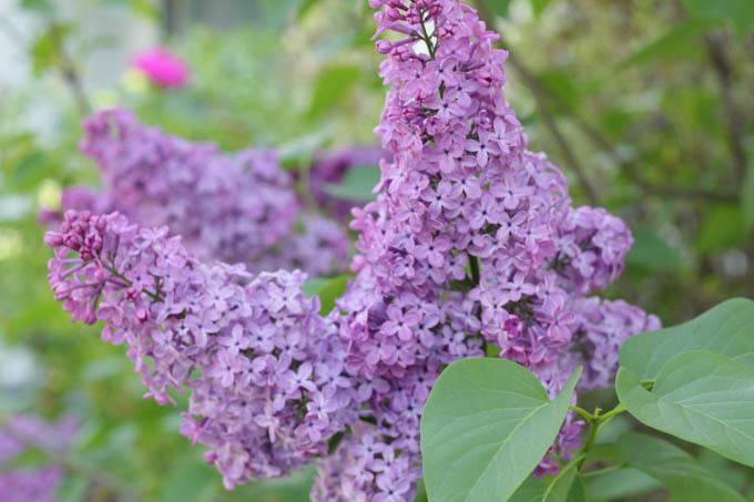 Purple lavendar flowers.