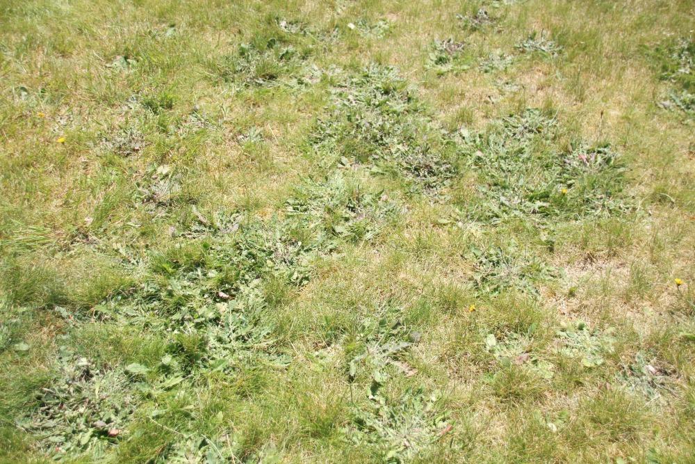 Very weedy lawn